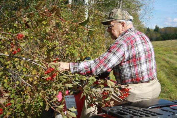 My grandfather picking highbush cranberries in 2011, photo courtesy of my aunt Wanda Garland