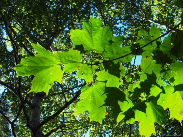 Acer saccharum- sugar maple